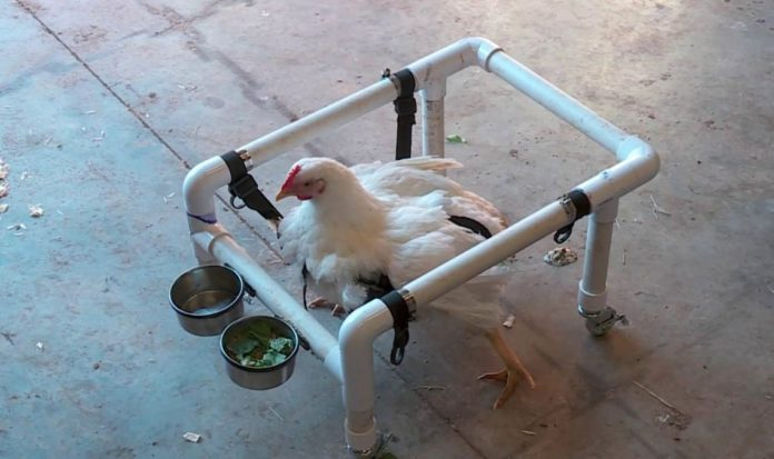 A sanctuary is rehabbing former factory farm chickens.