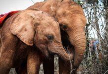Inside Kenya's Nairobi National Park, the Sheldrick Wildlife Trust's orphanage offers sanctuary to elephants, rhinos and giraffes.