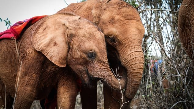 Inside Kenya's Nairobi National Park, the Sheldrick Wildlife Trust's orphanage offers sanctuary to elephants, rhinos and giraffes.